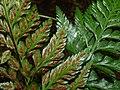 Starr-170304-0304-Asplenium adiantum nigrum-sori-Lower Waiohuli Trail Polipoli-Maui (33254858481).jpg