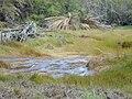Starr 020118-0025 Cyperus laevigatus.jpg