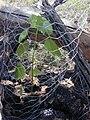 Starr 030424-0021 Hibiscus brackenridgei subsp. brackenridgei.jpg