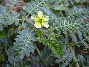 Tribulus terrestris - Leaves and flower