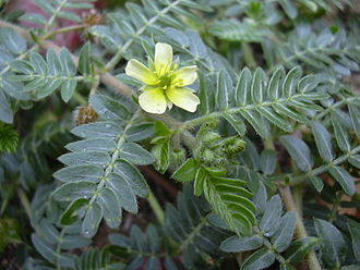 Tribulus terrestris - Leaves and flower