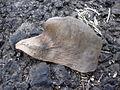 Starr 030612-0084 Plumeria rubra.jpg