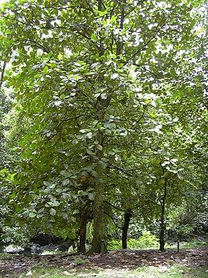 Artocarpus - Image: Starr 030807 0064 Artocarpus odoratissimus