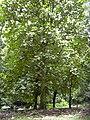 Starr 030807-0064 Artocarpus odoratissimus.jpg