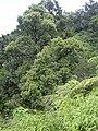 Starr 040713-0082 Syzygium sandwicensis.jpg