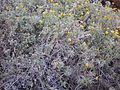 Starr 041223-2251 Melanthera lavarum.jpg