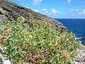 Starr 050225-4610 Chenopodium oahuense.jpg