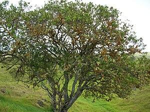 Puna, Hawaii - Image: Starr 050423 6662 Santalum ellipticum