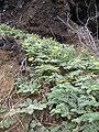 Starr 060228-8914 Tribulus cistoides.jpg