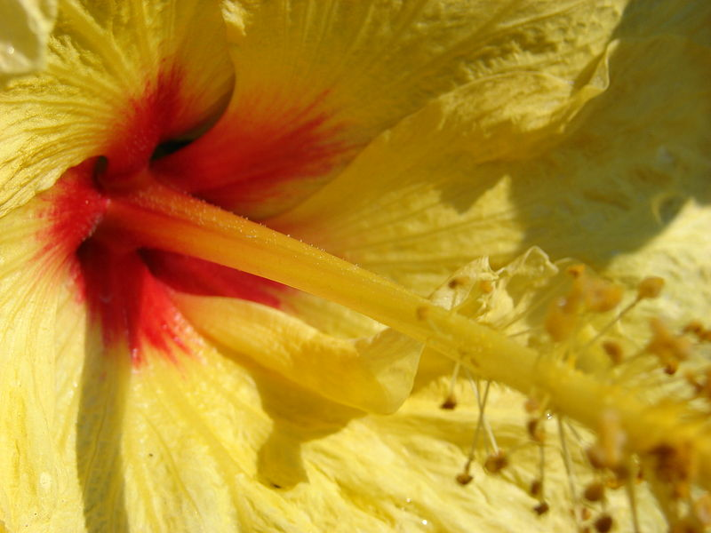 File:Starr 070124-3783 Hibiscus rosa-sinensis.jpg
