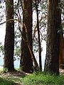 Starr 070908-9451 Eucalyptus globulus.jpg