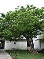 Starr 080608-7561 Erythrina variegata.jpg