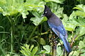 Steller's Jay; Cyanocitta stelleri, WY.jpg