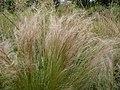 Stipa tenuifolia 01 by Line1.jpg