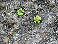 "Stone"" flowers on the old pavement - ""Каменные"" цветы на старом асфальте - panoramio.jpg"