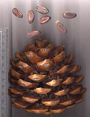 Pine nut - Stone pine cone with pine nuts — note two nuts under each cone scale