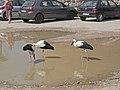 Storks at the parking lot next to Tykocin Castle 1.jpg