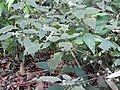 Strobillanthes wightiana-3-chemunji-kerala-India.jpg