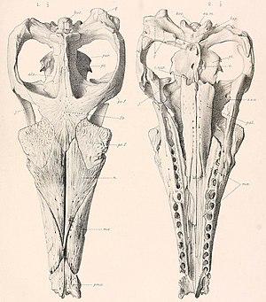 Suchodus - S. brachyrhynchus skull