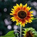 Sunflower, Munsinger Gardens 8-17-18 ^munsingerclemens ^greaterstcloud ^flowers - Flickr - Sharon Mollerus.jpg