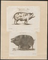 Sus scrofa domestica - 1700-1880 - Print - Iconographia Zoologica - Special Collections University of Amsterdam - UBA01 IZ21900127.tif