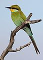 Swallow-tailed bee-eater, Merops hirundineus, at Kgalagadi Transfrontier Park, Northern Cape, South Africa (34493385476).jpg