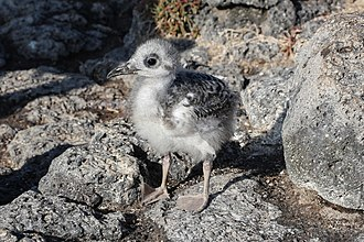 Swallow-tailed gull - Juvenile swallow-tailed gull in Galápagos Islands