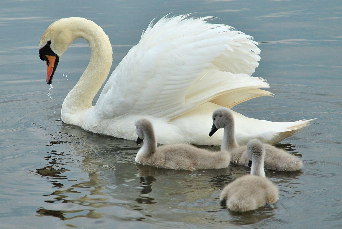 File:Swan & Signets at Carlingwark Loch, Castle Douglas ...
