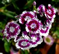 Sweet William -- Dianthus barbatus.jpg