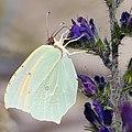 Sydlig citronfjäril - Gonepteryx cleopatra -2271 - Flickr - Ragnhild & Neil Crawford.jpg