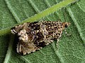 Syricoris lacunana - Dark strawberry tortrix (27422988388).jpg