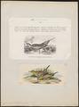 Syrrhaptes tibetanus - 1700-1880 - Print - Iconographia Zoologica - Special Collections University of Amsterdam - UBA01 IZ16900063.tif