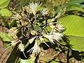 Syzygium zeylanicum 14.JPG