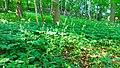 Türkenbund (Lilium martagon).jpg.jpg