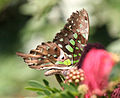 Tailed Jay- is it I IMG 0044.jpg