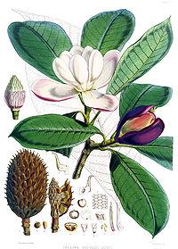 Talauma hodgsonii