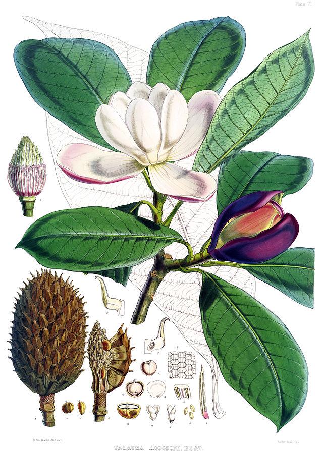 planche botanique du magnolia liliifera