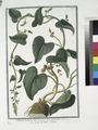 Tamnus racemosa flore minore, luteo palescente - Sceau de Notre Dame (NYPL b14444147-1124987).tiff