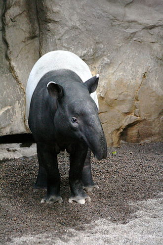Minnesota Zoo - A Malayan tapir at the Minnesota Zoo