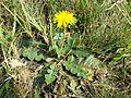 Taraxacum serotinum sl22.jpg