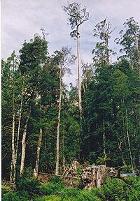 Tasmania logging 16 Styx a tree in danger.jpg