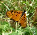 Tawny Coster. Acraea violae - Flickr - gailhampshire.jpg