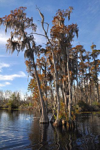 Taxodium ascendens - T. ascendens in black water, Okefenokee Swamp, Georgia, USA