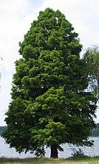 Taxodium distichum bgiu.jpg