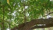 Tembusu Tree (Cyrtophyllum fragrans) 3.jpg