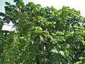 Terap Ikal (Artocarpus anisophyllus) (8082546991).jpg
