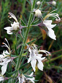 Teucrium pseudochamaepitys flowers Closeup DehesaBoyaldePuertollano