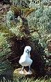 Thalassarche chlororhynchos on Gough Island.jpg