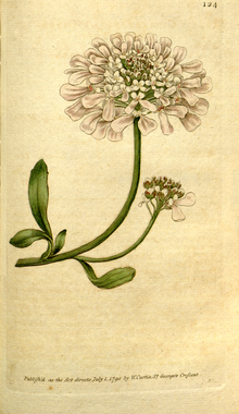 The Botanical Magazine, Plate 124 (Volume 4, 1791).png