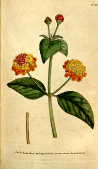 The Botanical Magazine, Plate 96 (Volume 3, 1790).png
